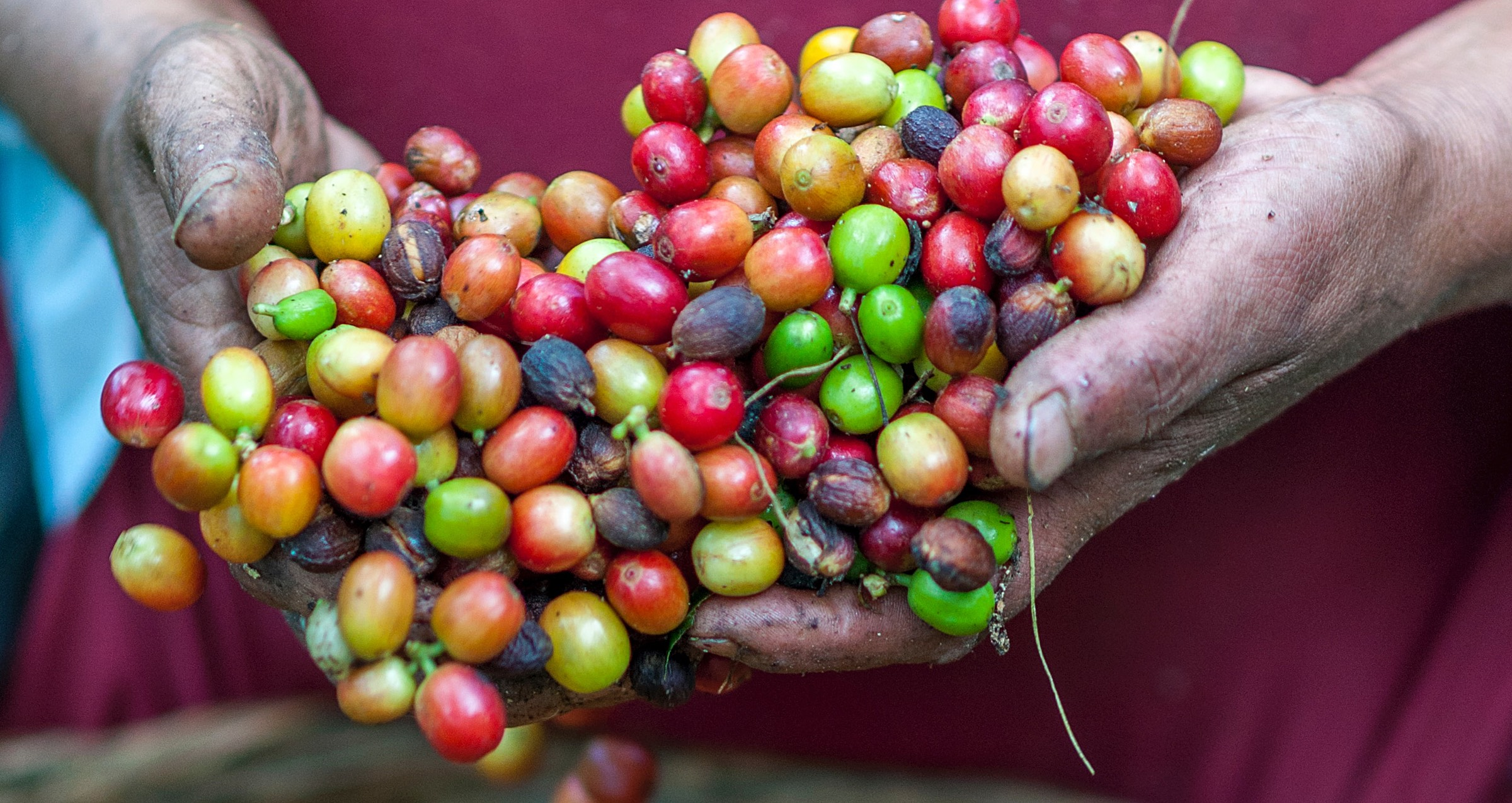 Ripe coffee beans in farmer's hands