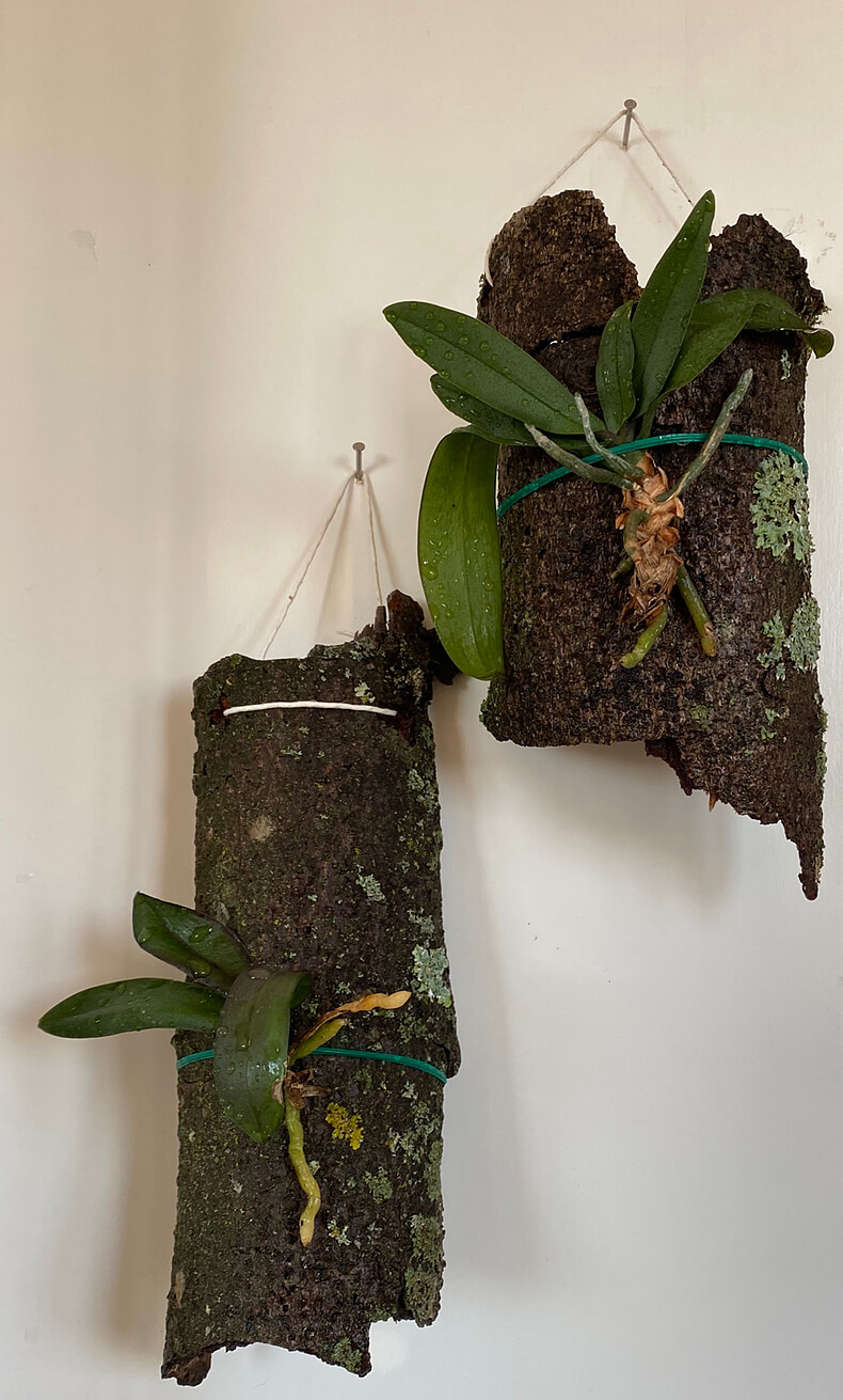 small phalaenopsis orchids freshly mounted on bark
