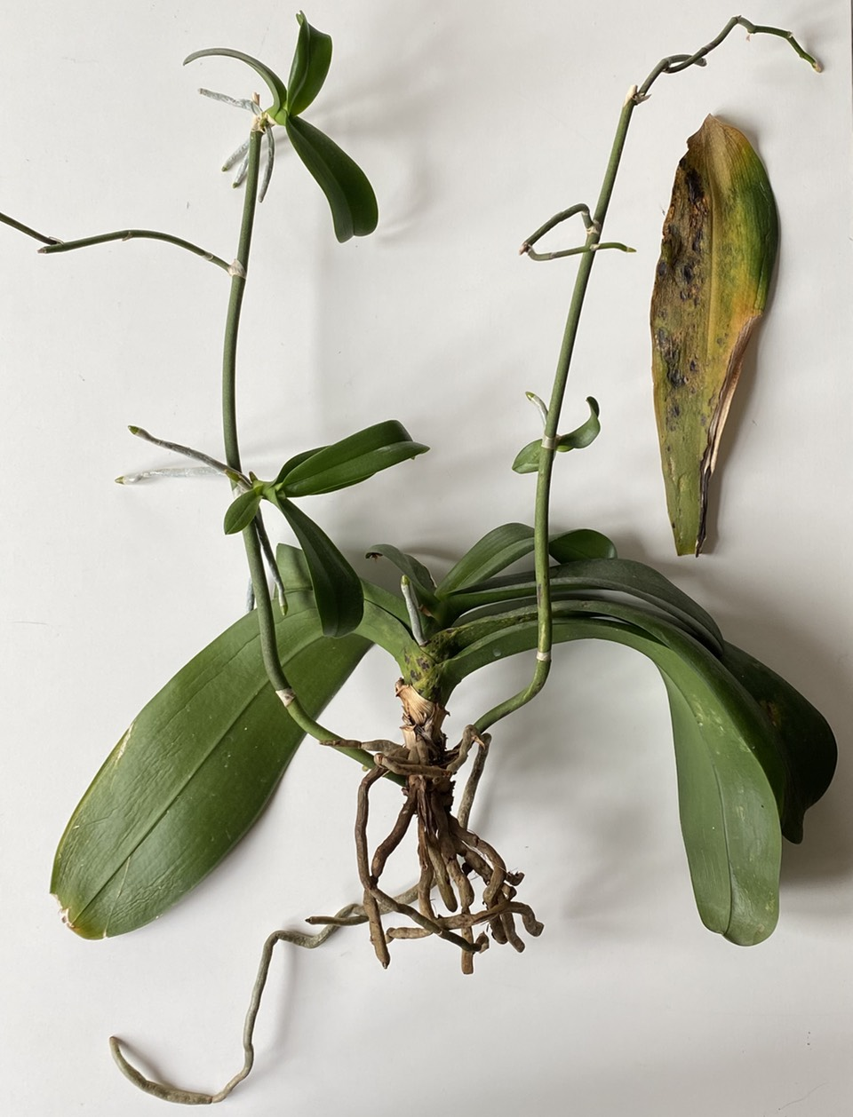 Revived Phalaenopsis orchid on its side and bare rooted with a naturally dropped dying leaf