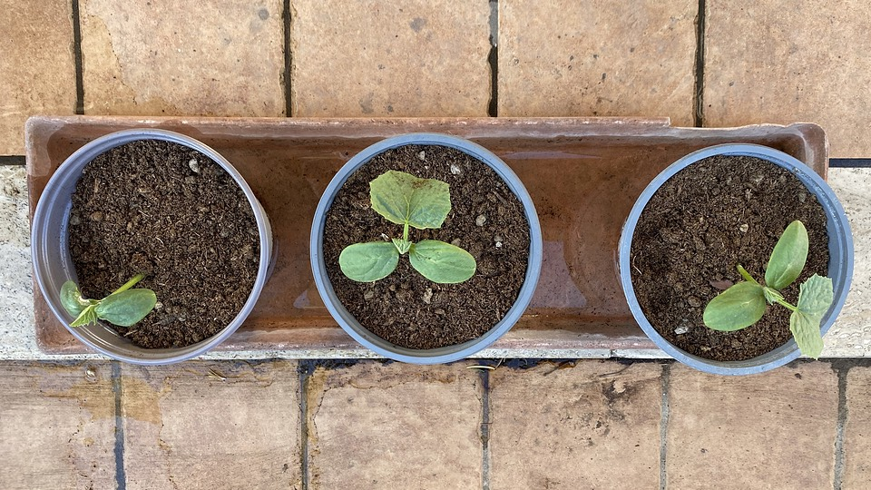 three cucumber seedlings